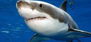 Gran Tiburón Blanco (Imagen: National Geographic)